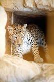 leopard κλουβιών Στοκ Εικόνες