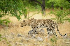 leopard Ναμίμπια Στοκ Εικόνες