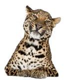 leopard να βρεθεί pardus panthera Στοκ Εικόνες