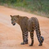 leopard οδικό περπάτημα Σρι Λάνκα Στοκ φωτογραφίες με δικαίωμα ελεύθερης χρήσης