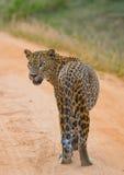 leopard οδικό περπάτημα Σρι Λάνκα Στοκ Φωτογραφίες