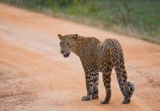 leopard οδικό περπάτημα Σρι Λάνκα Στοκ εικόνα με δικαίωμα ελεύθερης χρήσης