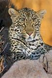 leopard πέρκα Στοκ φωτογραφία με δικαίωμα ελεύθερης χρήσης