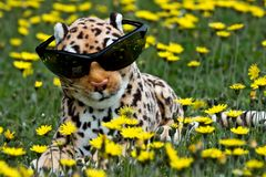 leopard παιχνίδι Στοκ Εικόνα