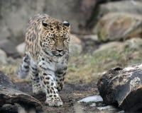 leopard περπάτημα στοκ εικόνες με δικαίωμα ελεύθερης χρήσης