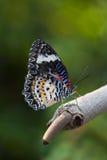 Leopard πεταλούδα Lacewing Στοκ εικόνες με δικαίωμα ελεύθερης χρήσης