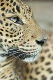 leopard πορτρέτο Στοκ Εικόνες