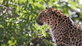 Leopard πορτρέτο Στοκ φωτογραφία με δικαίωμα ελεύθερης χρήσης