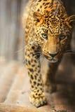 Leopard πορτρέτο Στοκ εικόνα με δικαίωμα ελεύθερης χρήσης