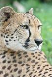 leopard πορτρέτο Στοκ Εικόνα