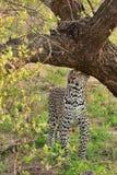 leopard που χαρακτηρίζει τη μυρ& Στοκ φωτογραφίες με δικαίωμα ελεύθερης χρήσης
