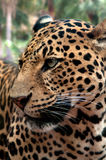 Leopard πρόσωπο Στοκ φωτογραφίες με δικαίωμα ελεύθερης χρήσης
