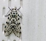 Leopard σκώρος Στοκ Εικόνες