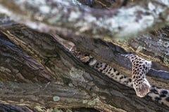 leopard Στήριξη μετά το μεσημεριανό γεύμα Στοκ Φωτογραφίες