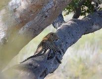 Leopard στο δέντρο Στοκ Εικόνα