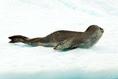 Leopard σφραγίδα σε Antartcia Στοκ φωτογραφίες με δικαίωμα ελεύθερης χρήσης