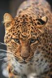 Leopard της Κίνας Στοκ εικόνα με δικαίωμα ελεύθερης χρήσης