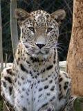 leopard της Κεϋλάνης Στοκ φωτογραφίες με δικαίωμα ελεύθερης χρήσης