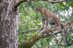 leopard χασμουρητό Στοκ Φωτογραφία
