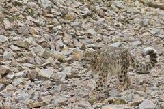 Περπατώντας Leopard χιονιού Στοκ Εικόνες