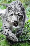 Leopard χιονιού Στοκ Φωτογραφίες