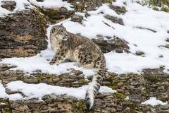 Leopard χιονιού Στοκ Εικόνες
