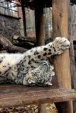 Leopard χιονιού Στοκ Φωτογραφία