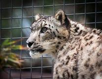 Leopard χιονιού Στοκ εικόνα με δικαίωμα ελεύθερης χρήσης