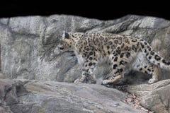 Leopard- χιονιού Himalayan ζωολογικός κήπος Νέα Υόρκη Bronx Στοκ Εικόνες