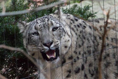 Leopard- χιονιού Himalayan ζωολογικός κήπος Νέα Υόρκη Bronx Στοκ φωτογραφία με δικαίωμα ελεύθερης χρήσης