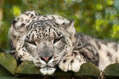 leopard χιόνι ουγγιών Στοκ φωτογραφίες με δικαίωμα ελεύθερης χρήσης