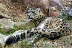 leopard χιόνι Στοκ εικόνες με δικαίωμα ελεύθερης χρήσης