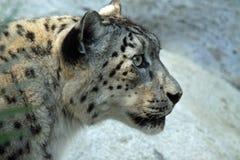 leopard χιόνι Στοκ Φωτογραφίες