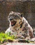 leopard χιόνι Στοκ Εικόνες