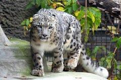 leopard χιόνι Στοκ φωτογραφίες με δικαίωμα ελεύθερης χρήσης
