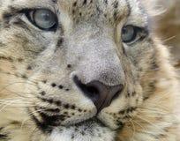 leopard χιόνι Στοκ φωτογραφία με δικαίωμα ελεύθερης χρήσης