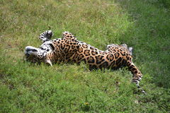 leopard χλόης Στοκ Εικόνες
