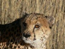 leopard χλόης ψηλό Στοκ Φωτογραφίες