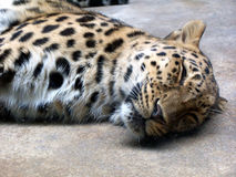 leopard ύπνος Στοκ Φωτογραφίες