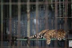 Leopard ύπνου Στοκ φωτογραφία με δικαίωμα ελεύθερης χρήσης