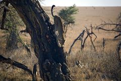 leopard 027 ζώων Στοκ Φωτογραφίες