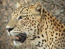 Leopard 10, Wilpattu, Sri Lanka Lizenzfreie Stockbilder