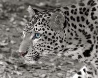 leopard stockbild