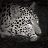 leopard lizenzfreie stockfotografie