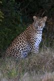 Leopard. Sitting Royalty Free Stock Photography