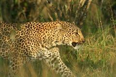 Leopard. (Panthera pardus), Masai Mara Game Reserve, Kenya Royalty Free Stock Image
