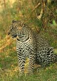 Leopard. (Panthera pardus), Masai Mara Game Reserve, Kenya stock photos