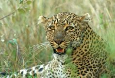 Leopard. (Panthera pardus), Masai Mara Game Reserve, Kenya Royalty Free Stock Photography
