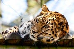 leopard Arkivbild