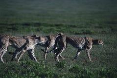 leopard Στοκ φωτογραφίες με δικαίωμα ελεύθερης χρήσης